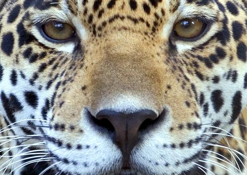 Auch der Jaguar gehört zu den bedrohten Tierarten Brasiliens. (© Michael Klenetsky, Fotolia)